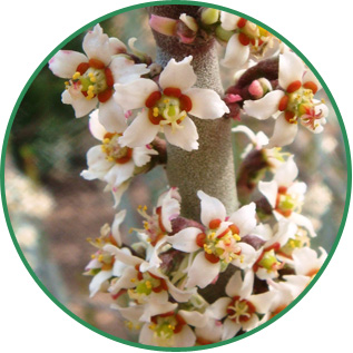Euphorbia Cerifera (Candelilla) Wax