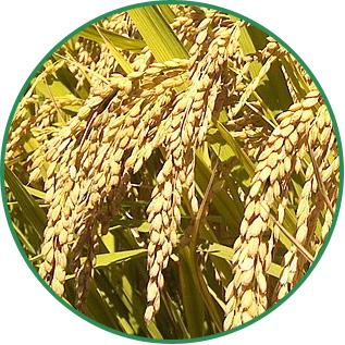 Oryza Sativa Rice Bran Wax