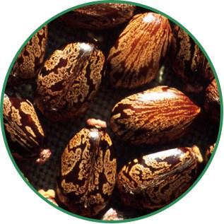 Ricinus Communis Castor Seed Oil